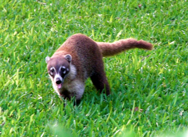 Coatimundi - a Mexican relative of the raccoon family